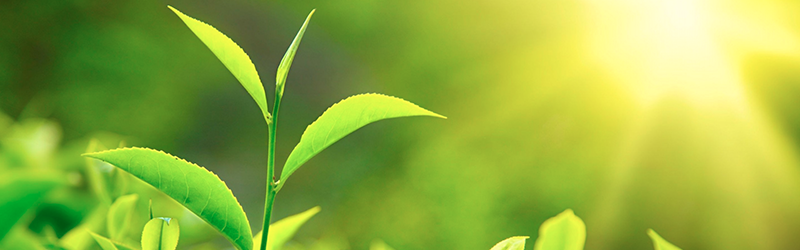 gront te skyddar mot ogonsjukdomar